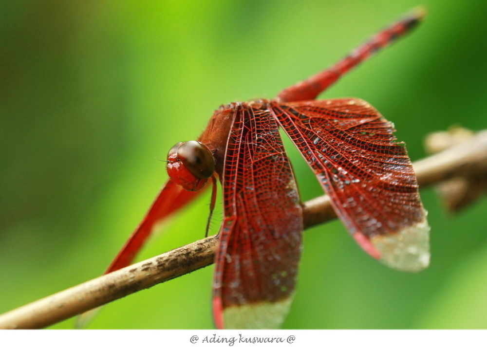 dragonfly by ading kuswara