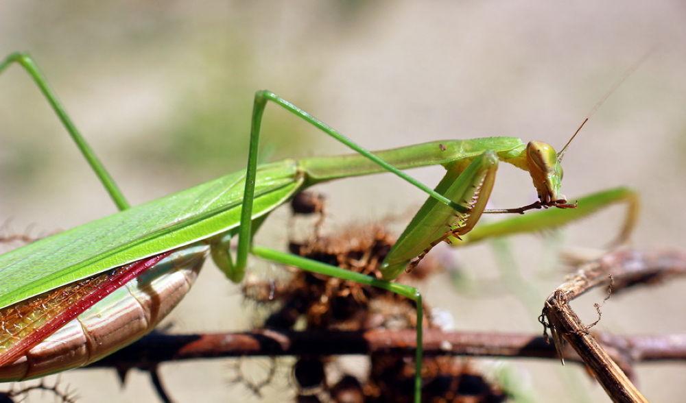 mantis by ading kuswara