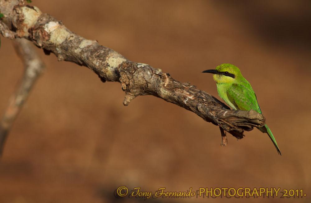 Green Bee-eater, Merops orientalis, (sometimes Little Green Bee-eater)IMG_4846  by tony fernando