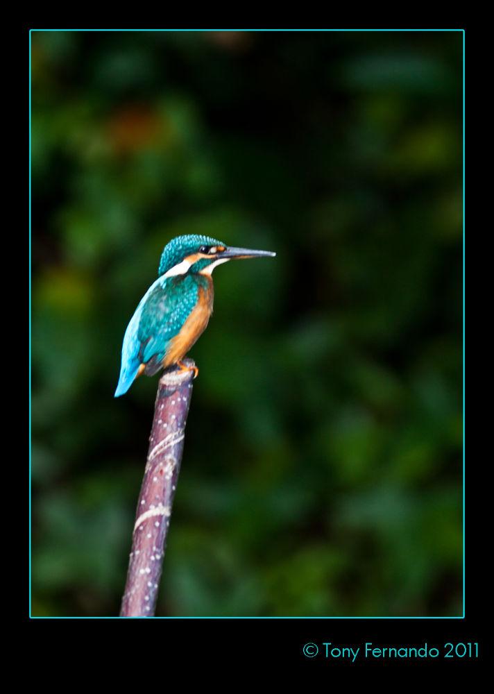 The Common Kingfisher (Alcedo atthis) also known as Eurasian Kingfisher, or River Kingfisher, IMG_16 by tony fernando