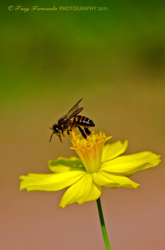 Bee....IMG_7932  by tony fernando