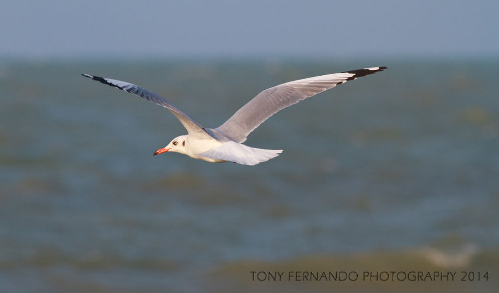 Flight...IMG_7427 R by tony fernando