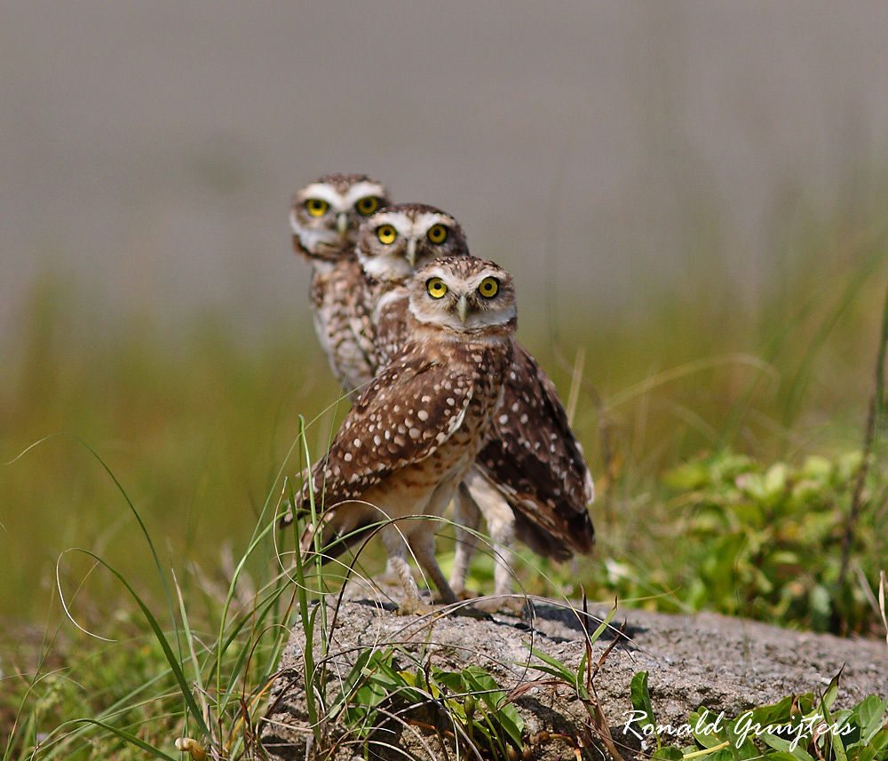 Burrowing Owl trio, ones in a lifetime.. by ronald gruijters