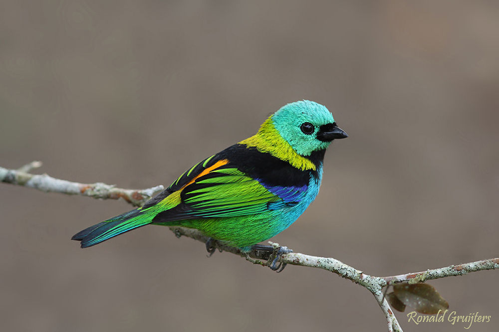 Green-headed Tanager by ronald gruijters