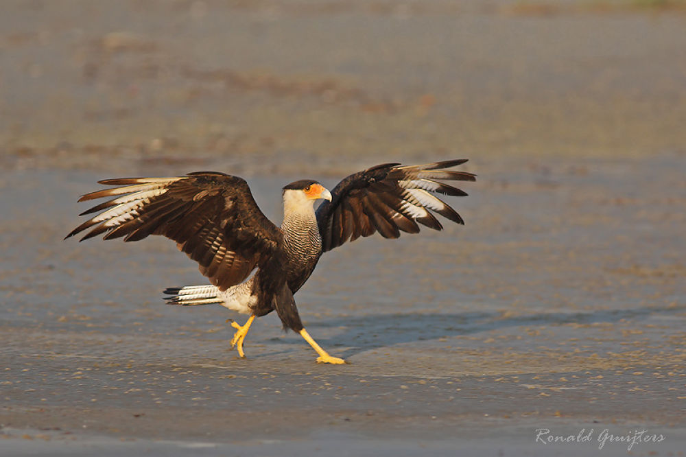 Southern Crested Caracara by ronald gruijters
