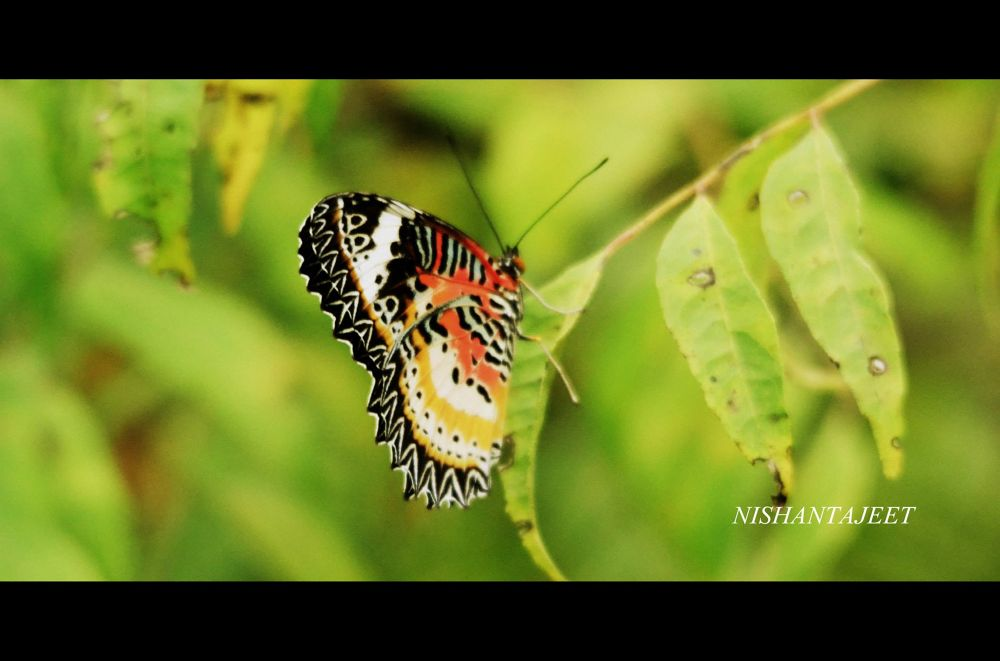 butterfly by nishantajit