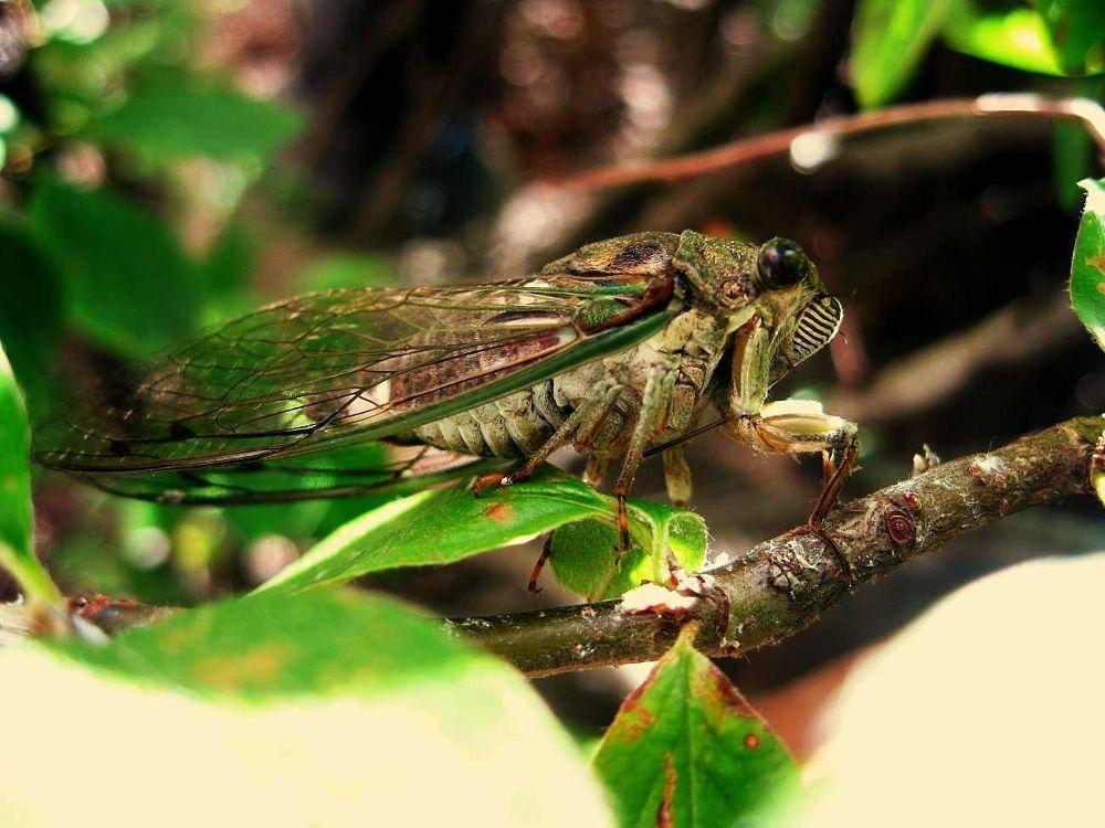 annual cicada by Chipka