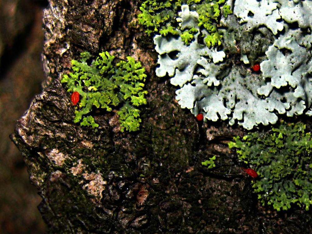 Spider Mites with Lichens by Chipka