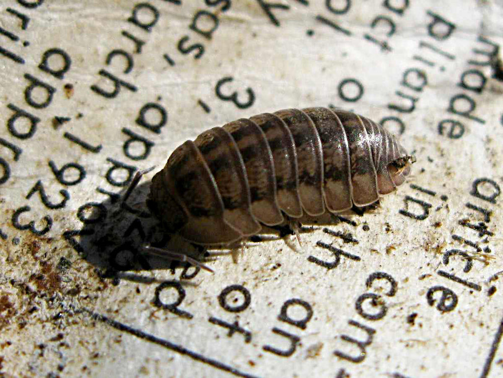 woodlouse and mattress tag by Chipka