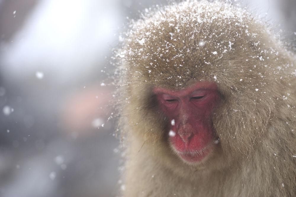 Snow monkey by Syuki Eita
