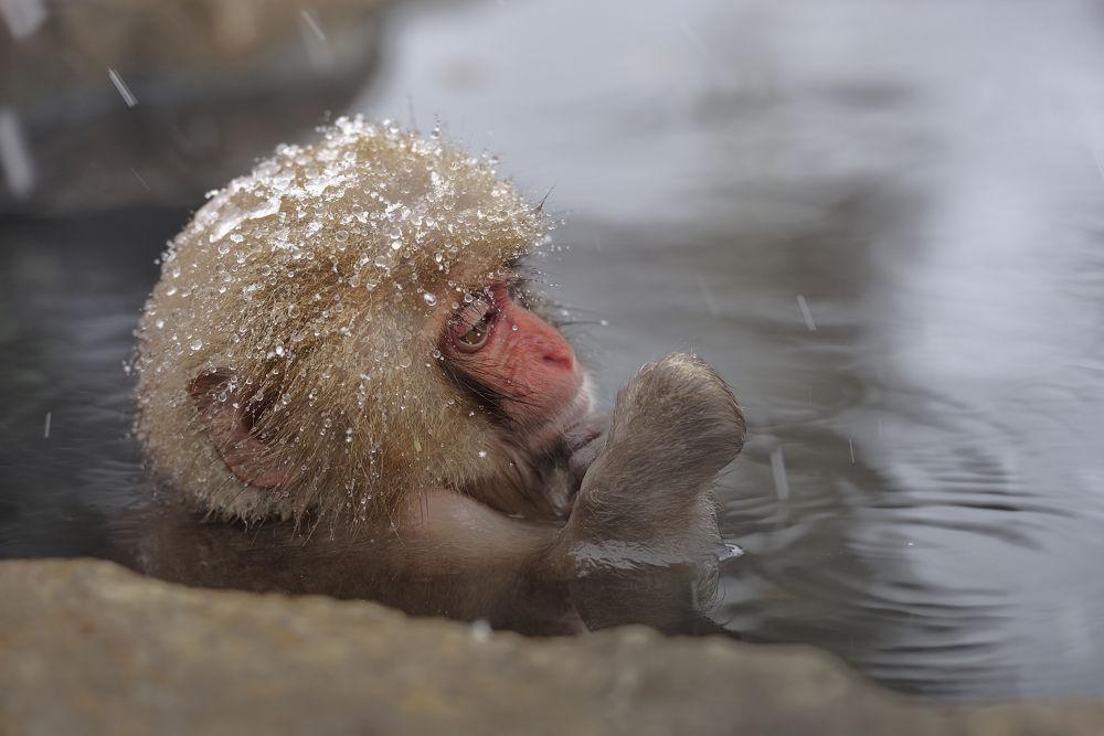 Photo in Animal #snow #snow monkey
