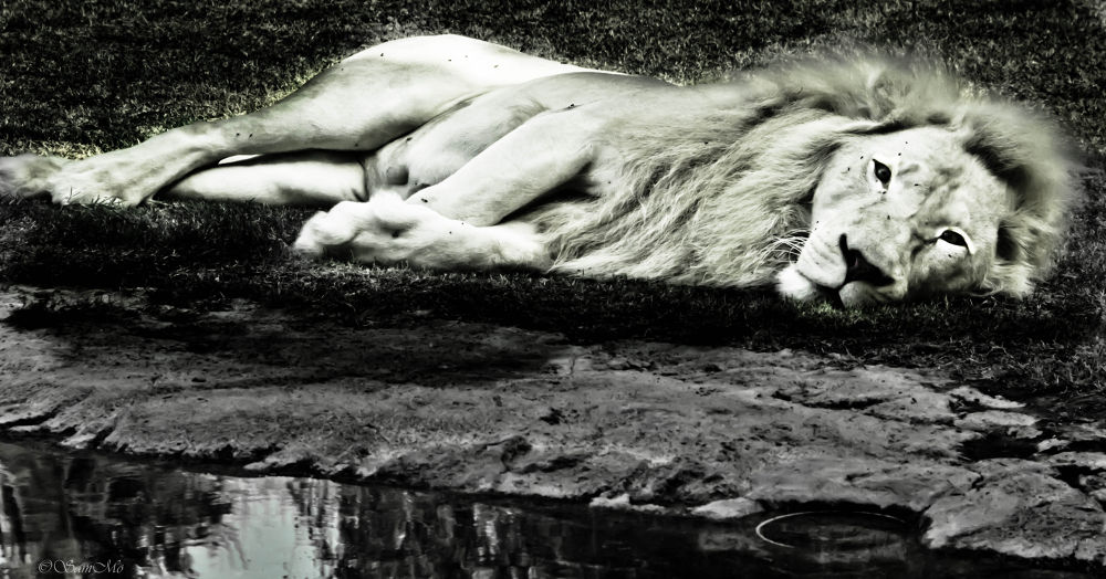 Photo in Animal #lion #white lion #surreal #al ain zoo #rare animals
