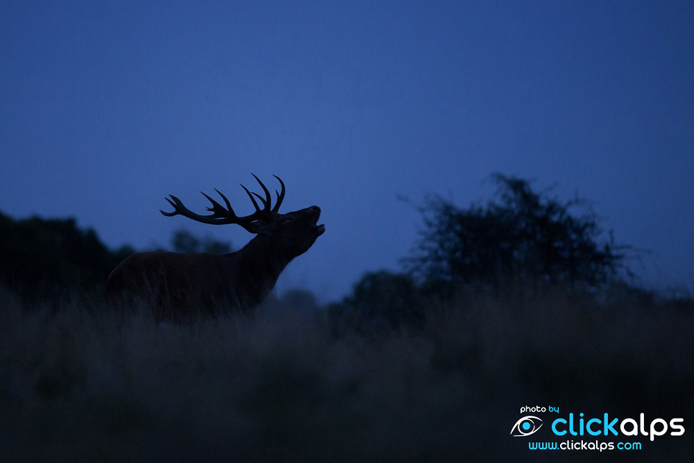 Deer stag belling out loud in England (Andrea Zampatti) by clickalps