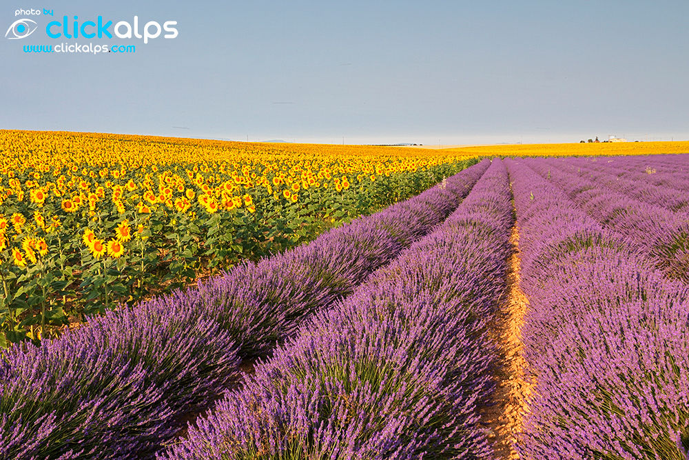 Lavender and Sunflowers fields on Provence  (Francesco-Vaninetti) by clickalps