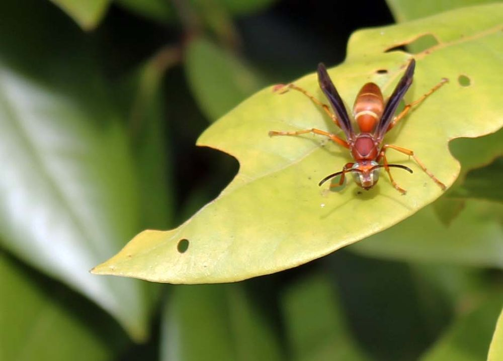 Mahogany Wasp by Linda L. Offen