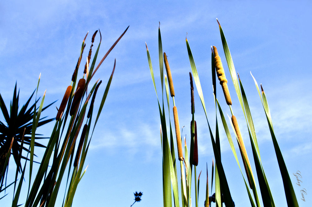"""""""Cattails"""" by Gehry Casey"""