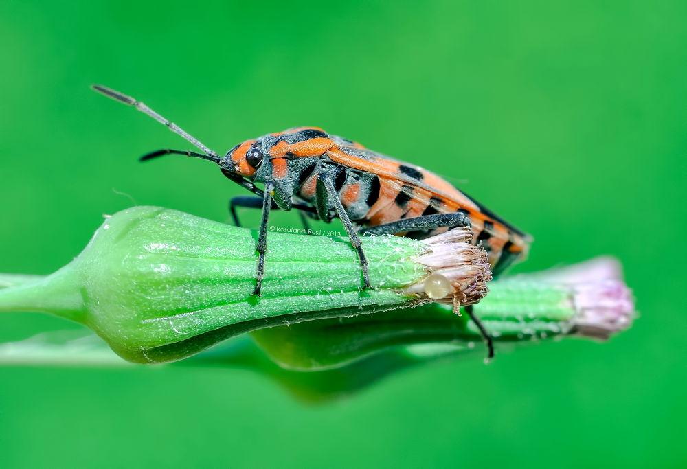 Large milkweed bug (Oncopeltus fasciatus) by RBR