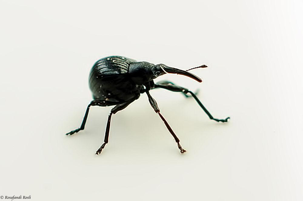 Photo in Macro #macro #black #weevil