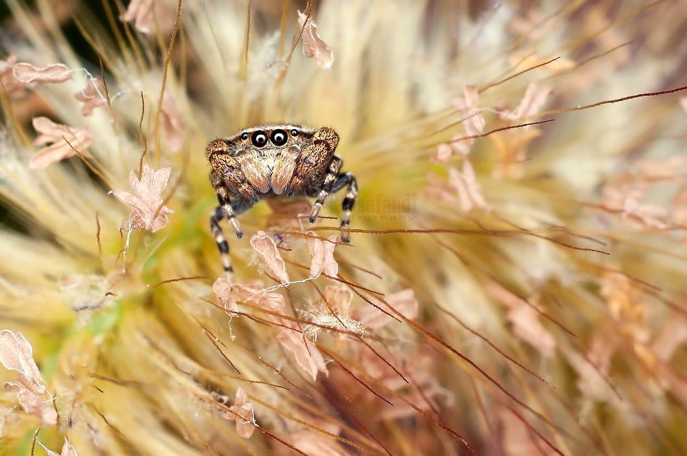Rhene albigera - Jumping Spider by RBR