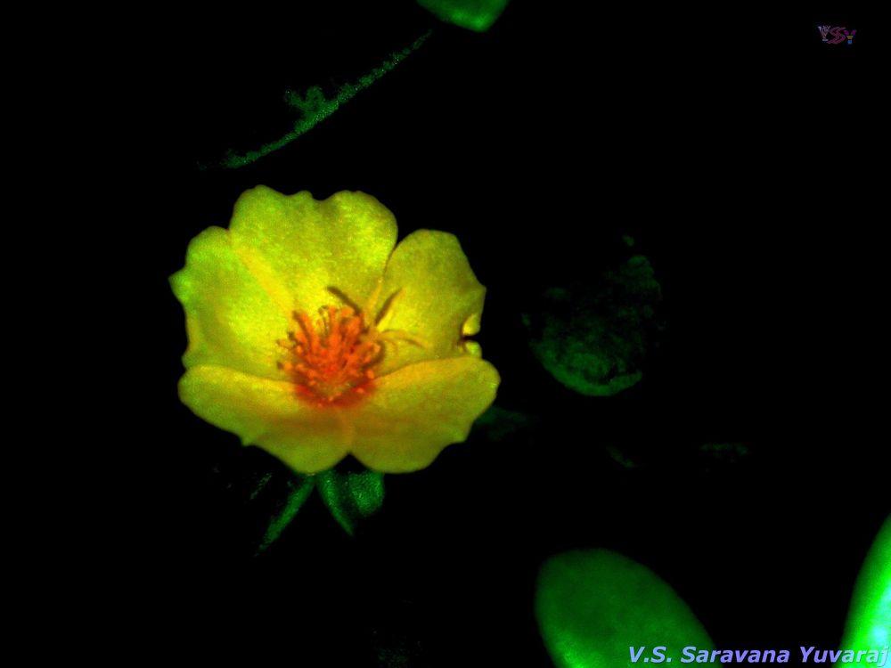 Yellow Flower by saravanayuvaraj
