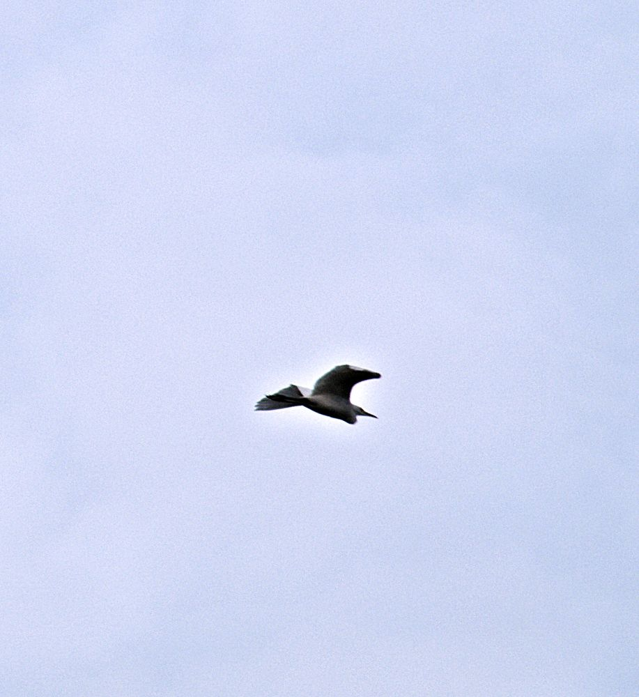 Swan by saravanayuvaraj