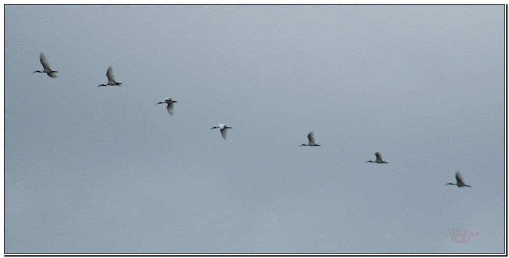 Birds Moving towards North by saravanayuvaraj