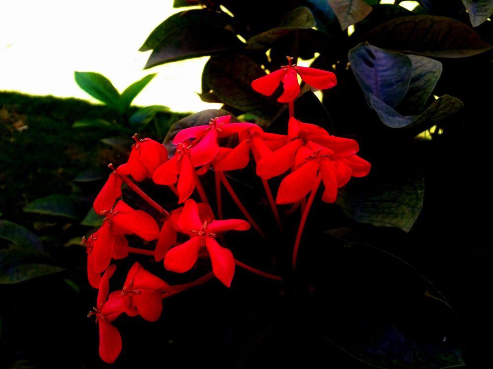 Red flower by saravanayuvaraj