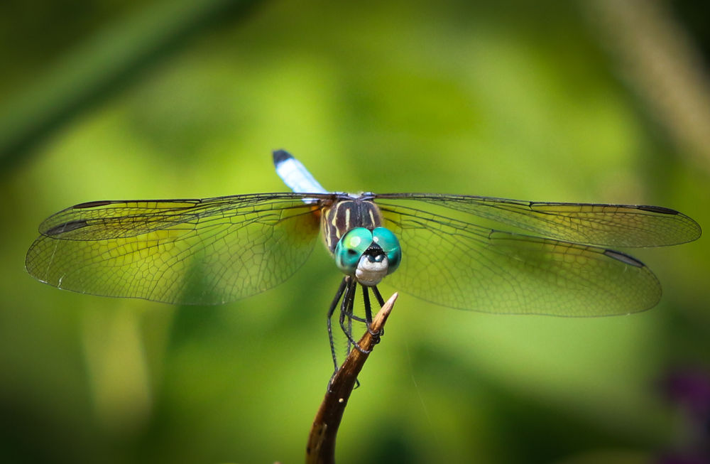 dragon fly by VAMPhotography