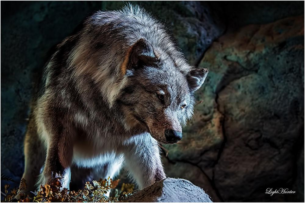 Northern Rocky Mountain wolf ... by Zoran Dujić - LightHunter