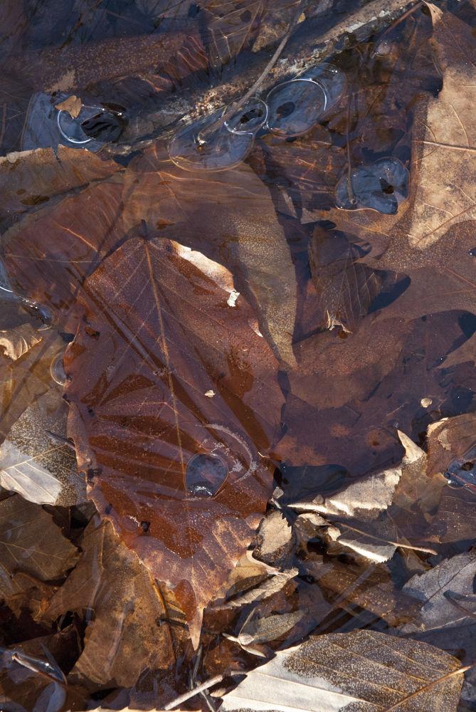 Leaf Under Ice by cliffordpugliese