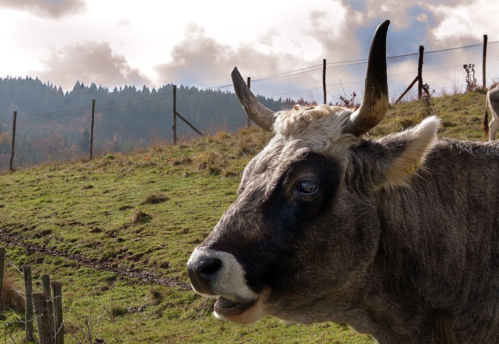 vacca by Amerigo