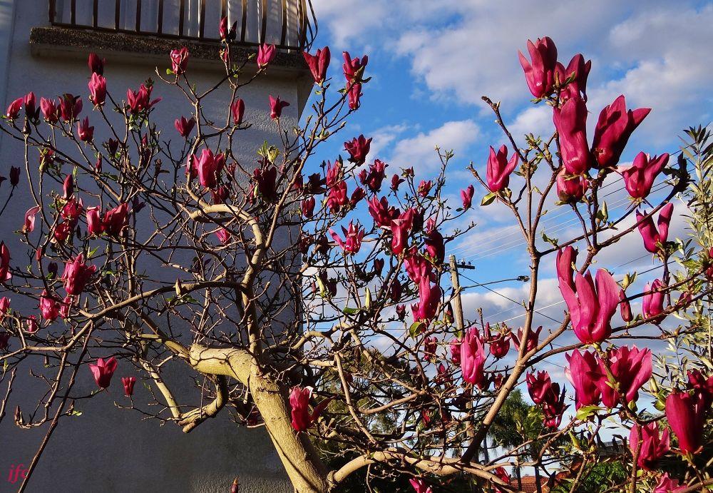 DSC02039 Burgundy Magnolia by johnfalconcostanzo
