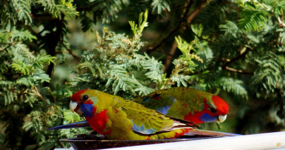 P1010294  young Rosella by johnfalconcostanzo