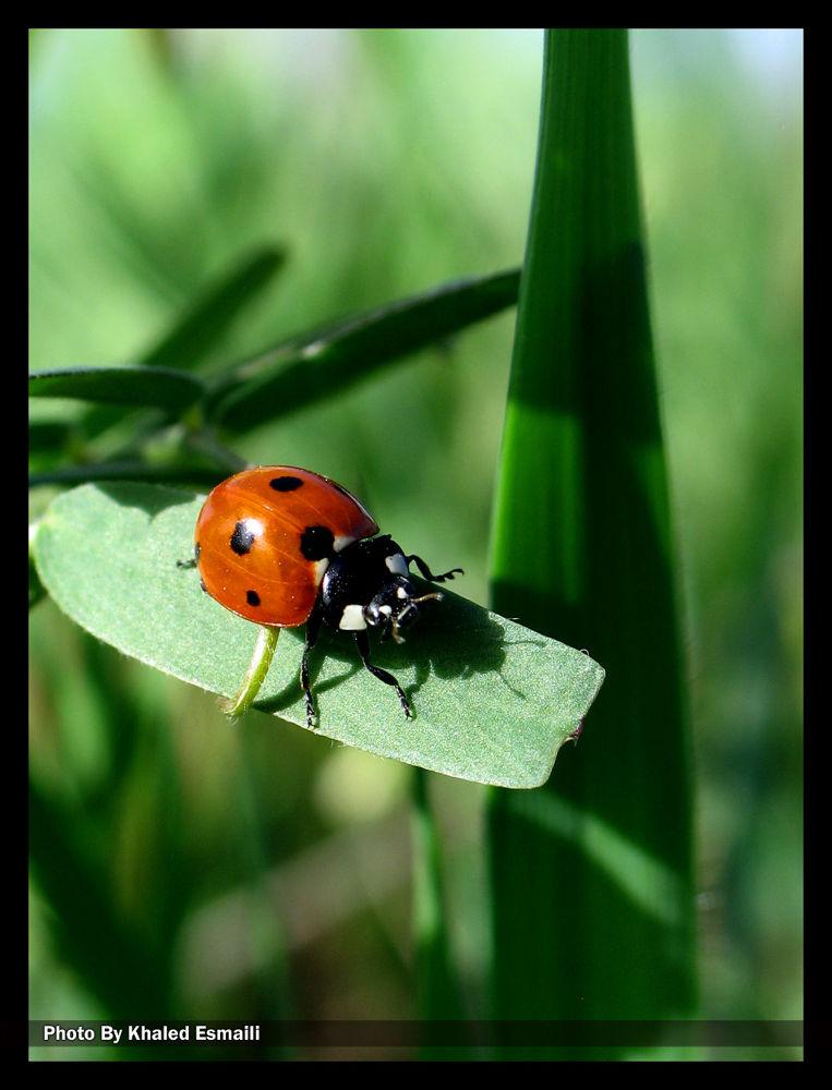 Photo in Macro #ladybirds #lady beetle #macro #nature