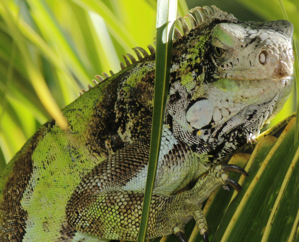 Photo in Random #iguana #green #animal