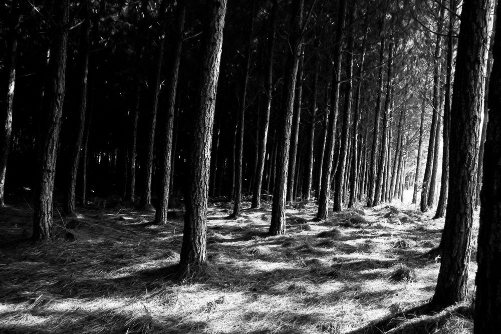 Floresta de pinus by carlostoigo