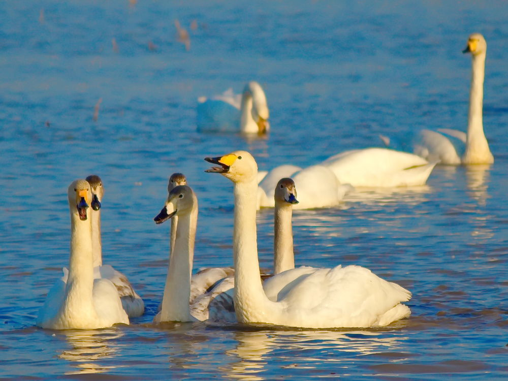 Migrator swans by Hossein Sattari