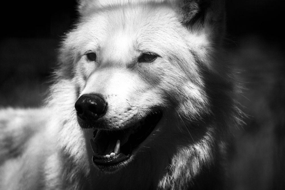 Wolf by Michael Hyldgaard Løgtholt