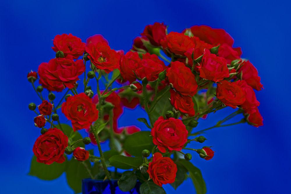 Roses-12 by cheko