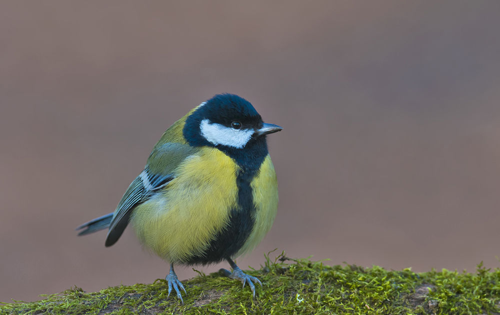 Cute Great Tit by cheko