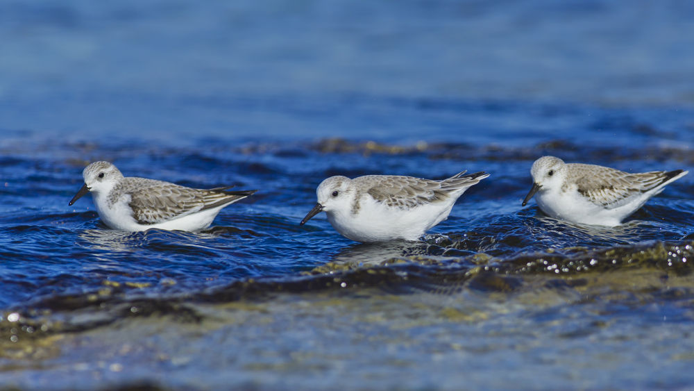 Triplet of Sanderling by cheko