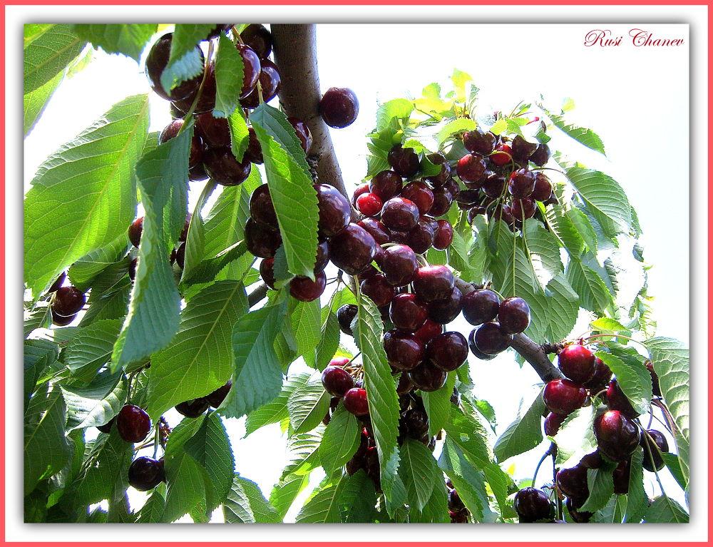 my cherry by Rusi Chanev