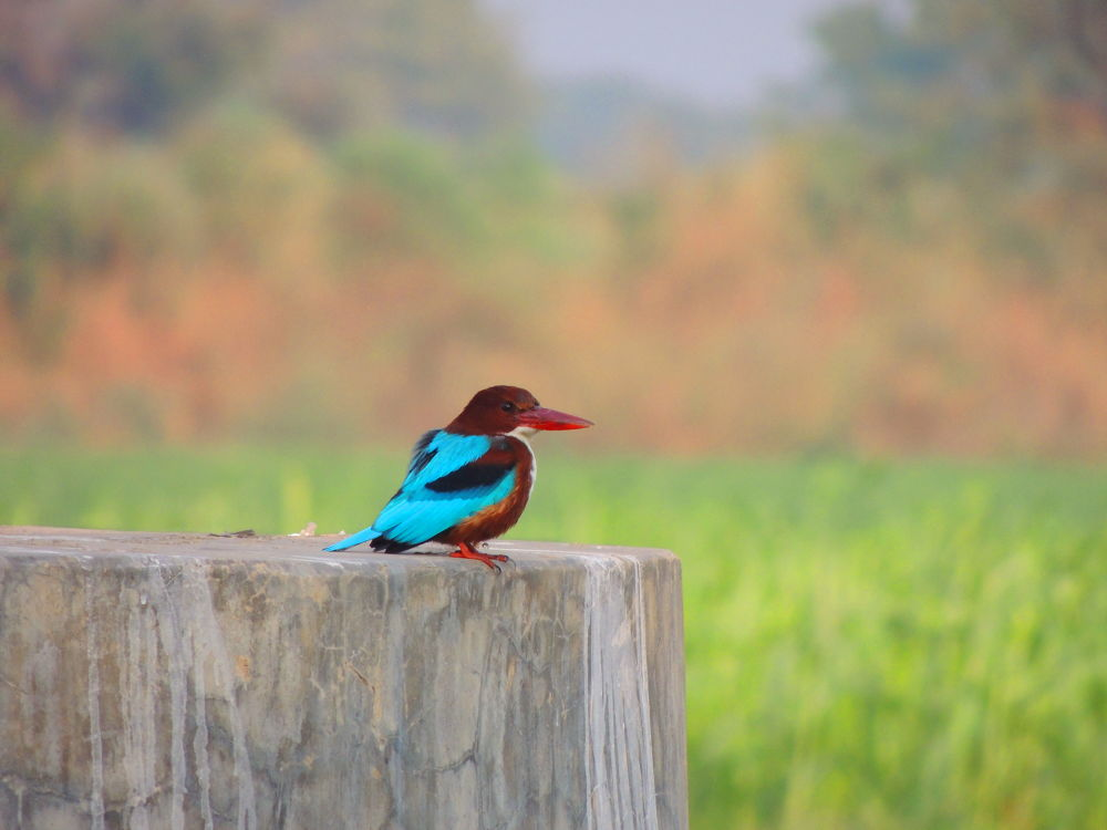 KIngfisher by Asif Patel