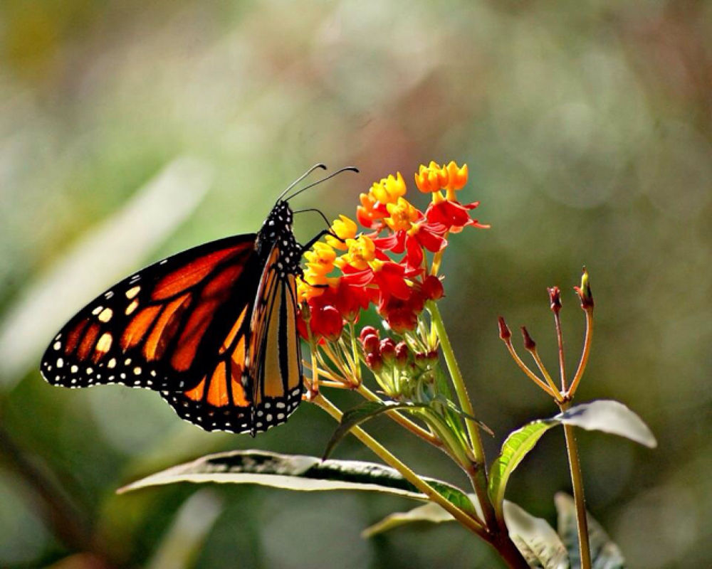 Monarch Butterfly  on Milk Weed by praslicka