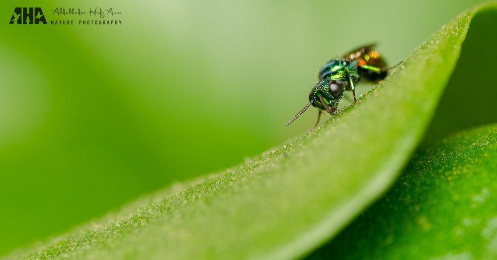 Cuckoo Wasp by Abdelkader Hadj Aissa