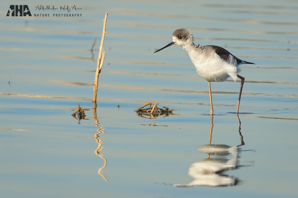 Black-winged Stilt by Abdelkader Hadj Aissa