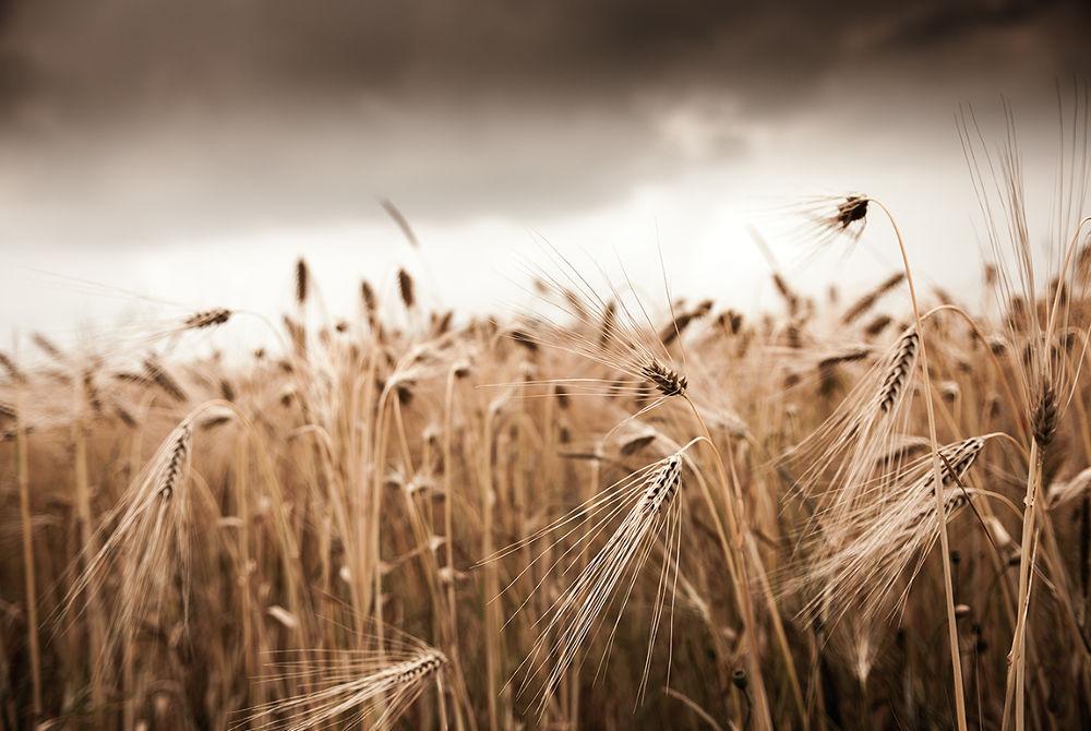Barley by Carsten Kopp