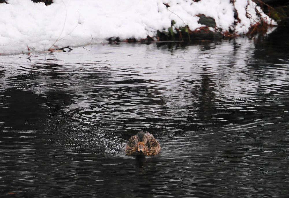Just Duckie! by John Nijjar