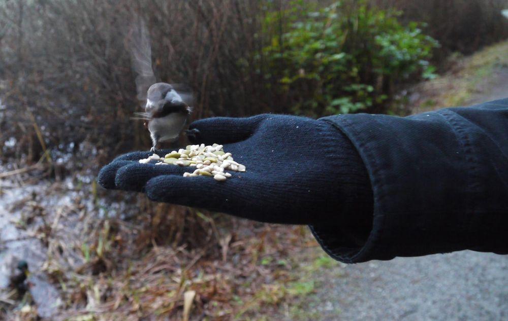 The chickadee that thinks it's a Humming bird! by John Nijjar