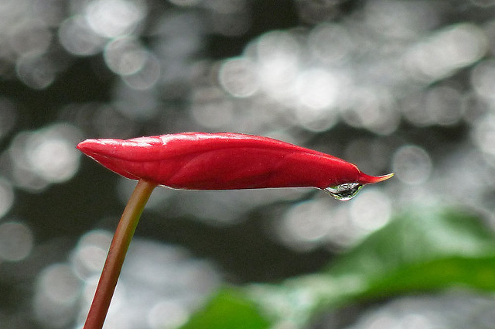 Flower with drop of water by fragranceumlee